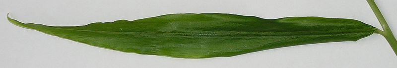 File:Zingiber officinale young leaf.jpg