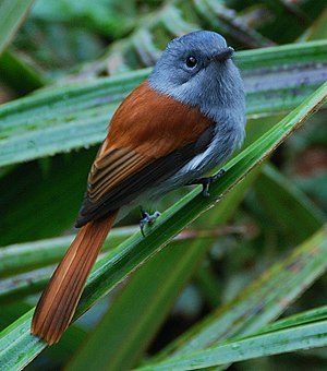 Monarch flycatcher - Mascarene paradise flycatcher