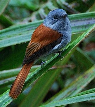 Monarch flycatcher - Mascarene paradise flycatcher