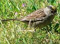 Zonotrichia atricapilla 05961.JPG