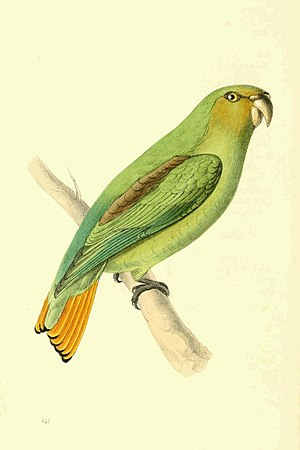 Golden-tailed parrotlet - Image: Zoological Illustrations Volume III Plate 141