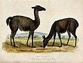 Zoological Society of London; two llamas. Coloured etching. Wellcome V0023137.jpg