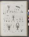 Zoologie. Crustacés. Écrévisses (NYPL b14212718-1268559).tiff