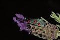 Zygaena lavandulae (Zygaenidae) (8708641281).jpg