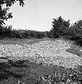 """""""Pesnico"""" sušijo za krmo prašičem pozimi, Oštrc 1956.jpg"""