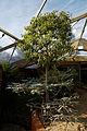 'Brachychiton populneus', the Kurrajong, at Capel Manor College Gardens Enfield London England.jpg