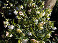 'Helleborus × hybridus Double White' Lenten rose at Capel Manor Gardens Enfield London England 1.jpg
