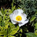 'Romneya coulteri' Coulter's Matilija poppy in Walled Garden of Parham House, West Sussex, England.jpg