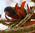 (1)Rainbow Lorikeet-3abc.jpg