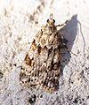 (1334a) Scoparia basistrigalis - Flickr - Bennyboymothman (1).jpg