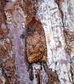 (2258) The Chestnut (Conistra vaccinii) (30901406855).jpg