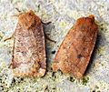(2258) The Chestnut (Conistra vaccinii) - Both forms - Flickr - Bennyboymothman.jpg