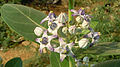 (Calotropis gigantea) crown flowers at Madhurawada.JPG