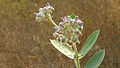 (Calotropis gigantea) crown flowers at Madhurawada 01.JPG