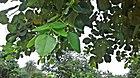 (Pterocarpus santalinus) red sandalwood tree at IG Zoo Park in Visakhapatnam 01.jpg