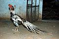 (Vaal Seval) from Alanganallur, Madurai.jpg