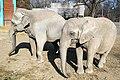 Африкански и индиски слон - Зоо Скопје.jpg