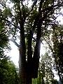 Багатовіковий дуб «Три брати», Прилуцький район, сел. Линовиця 74-241-5027 01.jpg