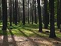 Вековой сосновый лес западнее озера Карачун.jpg