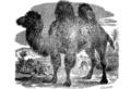 Верблюд 2 (БЭАН).png