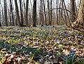 Весна, подснежники - panoramio.jpg