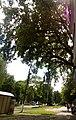 Віковий дуб, Прилуцький район, м. Прилуки, вул. Вокзальна, 36 74-107-5002 01.jpg