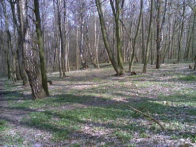 Голосіївський ліс - галявина.jpg