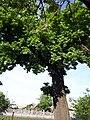 Дуб Марії Заньковецької в Ніжині.jpg