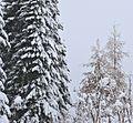 Ель и лиственница - panoramio.jpg