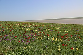 Краснокнижные тюльпаны Геснера и Биберштейна, ирисы