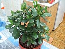 """У многих из нас есть денежное дерево ( """"красулла """", или в простонародии  """"толстянка """"), но далеко не всегда оно вырастает..."""