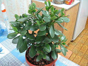 English: Crassula ovata, Jade plant.