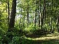 Лісовий гай на березі Світязя.jpg