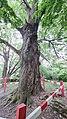 Могучий ствол Ясеня на Покровской горе.jpg