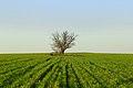 Одиноке дерево.JPG