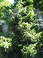 Оморика, Ботаничка башта Јевремовац, 01.JPG