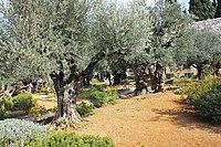 Оld Olive trees in the Garden of Gethsemane, 09.jpg