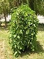 Растения в Седово 052.JPG