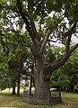 Рыльский район Марьино Парк Дуб 600 лет 2.jpg