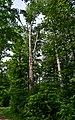 Скелі Довбуша Бук, уражений трутовиком DSC 0603.jpg