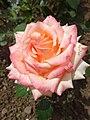 Троянда в ботанічному саду влітку.jpg