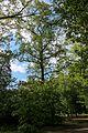 Тюльпанове дерево 10.JPG