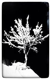 شجرة الجوز مكسوة بالثلج.jpg