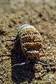 عکس قم، خرخاکی، حشرات و جنبندگان کویر مسیله.jpg