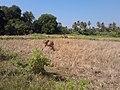 หมู่บ้าน นาพิพาน ต.ปะโค เมือง หนองคาย - panoramio.jpg