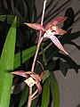 報歲新娘 Cymbidium sinense 'Bride' -香港沙田國蘭展 Shatin Orchid Show, Hong Kong- (12235686746).jpg