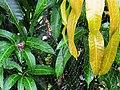 大木林蜘蛛(雌) Nepula pilipes (female) - panoramio.jpg