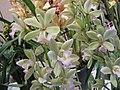 大花蕙蘭 Cymbidium Mini Green -香港沙田洋蘭展 Shatin Orchid Show, Hong Kong- (9252393607).jpg