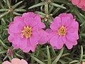太陽花(松葉牡丹) Portulaca grandiflora -香港北區公園 North District Park, Hong Kong- (9200912210).jpg