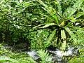 山蘇 Aspleninm nidus L. - panoramio.jpg